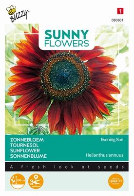 Helianthus zonnebloemen, Avond Zon, bruinrood, 180cm hoog