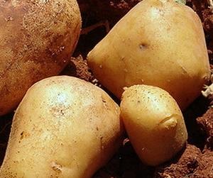Gloria vroege aardappel, vastkoker 2,5 kg