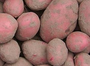 Rode Mozart, rode aardappel middellaat, vrij vast 2,5 kg