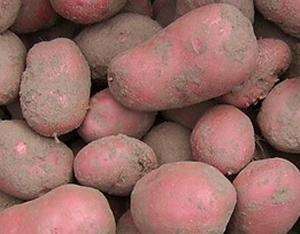 Rode Bildstar, rode aardappel, laat 2,5 kg