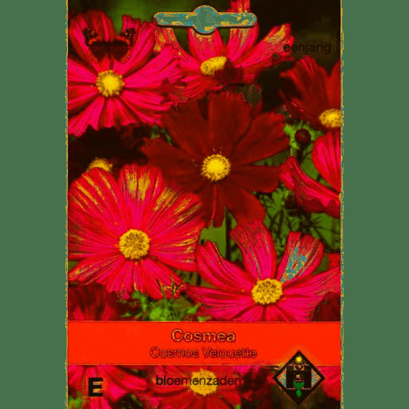 Cosmos bipinnatus 'Velouette'