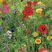 Wildebloemen mengsel    voor 50 m2  tot 100m2 50 gram