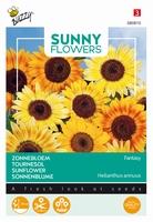 Helianthus zonnebloemen Fantasy, goede snijbloem 70cm hoog