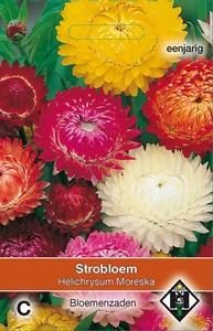 Helichrysum bracteatum Moreska