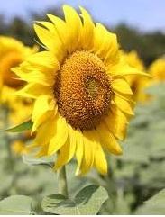 Bloemen 1-jarigen