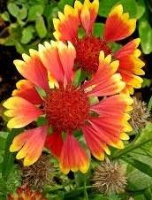 Bloemen 2-jarigen en vaste planten